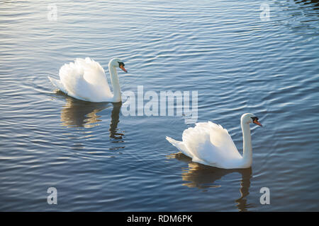 Two white swans swimming together. - Stock Photo