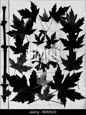 . Handbook of the trees of the northern states and Canada east of the Rocky Mountains, photo-descriptive . Trees. SILVER MAPLE. SILVER-LEAF MAPLE. WHITE MAPLE. Acer saccltariutnii L.'. Fig. 388. Branchlet with mature fruit while the leaves are not yet fully grown, i ; these are surrounded with mature leaves gathered later. Leafless branchlet in winter, 2. Note the clustered flower-buds. 389. Trunk of large tree in Black River valley, N. Y. 390. Wood structure magnified 15 diameters.. Please note that these images are extracted from scanned page images that may have been digitally enhanced for  - Stock Photo