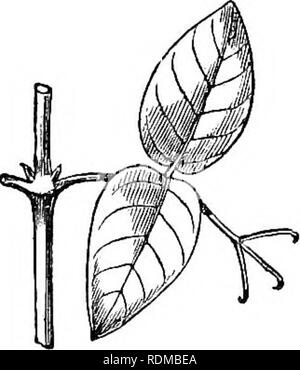 . The movements and habits of climbing plants. Climbing plants; Plants. 86 TENDKIL-BEAEEES. Chap. III. BiGNONlACEiE.—This family contains many tendril- bearers, some twiners, and some root-climbers. The tendrils always consist of modified leaves. Nine species of Bignonia, selected by hazard, are here described, in order to show what diversity of structure and action there may be within the same genus, and to show what remarkable powers some tendrils possess. The species, taken together, afford connecting links. Fig. B. Bignonia. Unnamed species from Kew. between twiners, leaf-climbers, tendril - Stock Photo