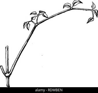 . The movements and habits of climbing plants. Climbing plants; Plants. 54 LEAF-CLIMBEKS. OiiAP. n. rather long sub-petioles. The main petiole bends a little angularly downwards at each point where a pair of leaflets arises (see fig. 2), and the petiole of the terminal leaflet is bent downwards at right angles; hence the whole petiole, with its rectangularly bent extremity, acts as a hook. This hook, the lateral petioles being directed a little upwards, forms an excellent grappling apparatus, by which the leaves. Fig. 2. A young leaf of Clematis vUicella. • readily become entangled with surrou - Stock Photo