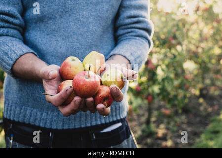 Close up of man standing in apple orchard, holding freshly picked apples. Apple harvest in autumn. - Stock Photo