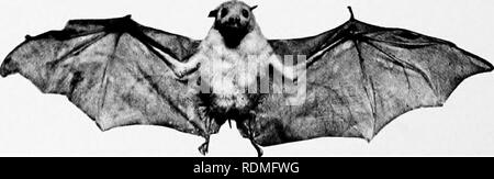 . Mammals of other lands;. Mammals. Photo by Henry Ki AUSTRALIAN FRUIT-BATS In their roasttng-p/aces these bats hang alt o'ver the trees in enormous numbers, looking like great black fruits. Although shot in thousands, on account of the damage they do to fruit orchards, their numbers do not appear to be reduced The Fruit-bats. These represent the giants of the bat world, the largest of them, the Kalong, or Malay Fox-bat, measur- ing no less than 5 feet from tip to tip of the wing. The best known of the fruit-bats is the Indian Fox-bat. Sir J. E. Tennent tells us that a favourite resort of thei - Stock Photo