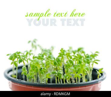 Fresh garden cress (LEPIDIUM SATIVUM) - Stock Photo