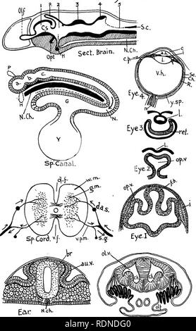 . Outlines of zoology. Textbooks; Zoology. Diagram XXII. Nervous System.. Nose.. Please note that these images are extracted from scanned page images that may have been digitally enhanced for readability - coloration and appearance of these illustrations may not perfectly resemble the original work.. Thomson, J. Arthur (John Arthur), 1861-1933. New York, D. Appleton & Co. - Stock Photo