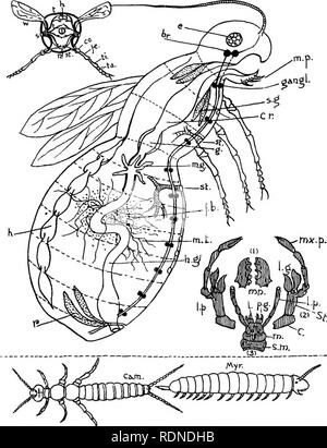 . Outlines of zoology. Textbooks; Zoology. Diagr'am XIII. Tracheata.. Please note that these images are extracted from scanned page images that may have been digitally enhanced for readability - coloration and appearance of these illustrations may not perfectly resemble the original work.. Thomson, J. Arthur (John Arthur), 1861-1933. New York, D. Appleton & Co. - Stock Photo