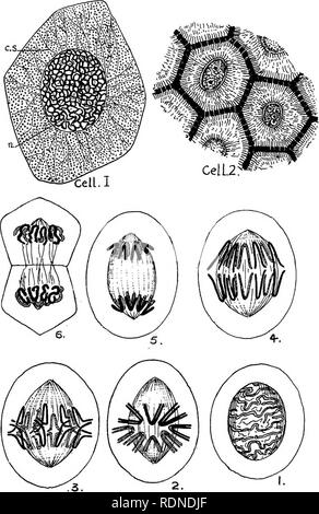 . Outlines of zoology. Textbooks; Zoology. Diagram II. The Cell. Please note that these images are extracted from scanned page images that may have been digitally enhanced for readability - coloration and appearance of these illustrations may not perfectly resemble the original work.. Thomson, J. Arthur (John Arthur), 1861-1933. New York, D. Appleton & Co. - Stock Photo