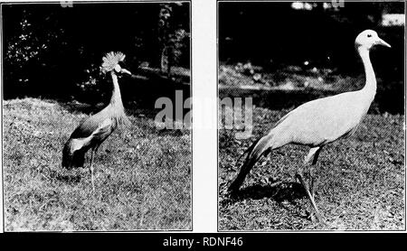 . Pets; their history and care. Pets. Crowned Crane Paradise Crane. Please note that these images are extracted from scanned page images that may have been digitally enhanced for readability - coloration and appearance of these illustrations may not perfectly resemble the original work.. Crandall, Lee S. (Lee Saunders), 1887-1969; Evans, Howard E. fmo; Cornell University. College of Veterinary Medicine. Flower-Sprecher Veterinary Library. fmo. New York, H. Holt and company - Stock Photo