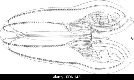 . Ctenophores of the Atlantic coast of North America. Ctenophora; Ctenophora. B.Meisel lift. Boston.. Please note that these images are extracted from scanned page images that may have been digitally enhanced for readability - coloration and appearance of these illustrations may not perfectly resemble the original work.. Mayor, Alfred Goldsborough, 1868-1922. Washington, D. C. , Cargenie Institution of Washington - Stock Photo