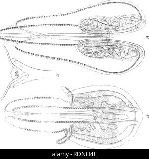 . Ctenophores of the Atlantic coast of North America. Ctenophora; Ctenophora. Gtenophores of the Atlantic Coast of North America Plate 4. Please note that these images are extracted from scanned page images that may have been digitally enhanced for readability - coloration and appearance of these illustrations may not perfectly resemble the original work.. Mayor, Alfred Goldsborough, 1868-1922. Washington, D. C. , Cargenie Institution of Washington - Stock Photo