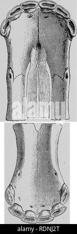 . Veterinary surgery ... Veterinary surgery; Veterinary pathology; Horses; Teeth; Domestic animals. ANIMAL DENTISTRY. 77. Fig. so. Incisor Denture at 15 Months (Table View).. Please note that these images are extracted from scanned page images that may have been digitally enhanced for readability - coloration and appearance of these illustrations may not perfectly resemble the original work.. Merillat, Louis A. (Louis Adolph), 1868-; Cade?ac, Ce?listin, 1858-; Le Blanc, Paul, 1872-; Carougeau, C. Chicago, A. Eger - Stock Photo