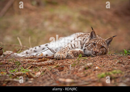 Eursian lynx laying on the ground in autmn forest with blurred background. - Stock Photo