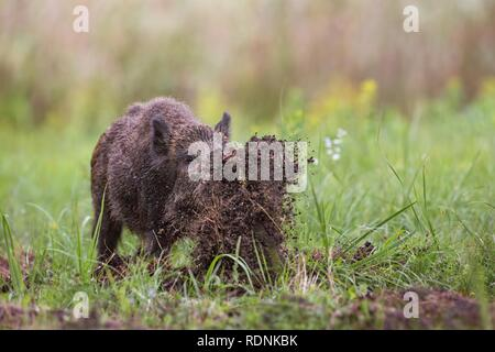 Wild boar, sus scrofa, digging on a meadow throwing mud around with its nose. - Stock Photo