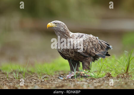 Adult white-tailed eagle, halitaeetus albicilla, feeding on a catched fish. - Stock Photo