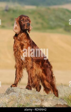 Irish Setter, standing on rocks, Austria - Stock Photo