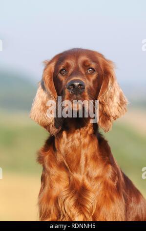 Irish Setter, animal portrait, Austria - Stock Photo