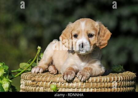 Spaniel Mongrel, puppy 6 weeks old, lies on basket, Austria - Stock Photo