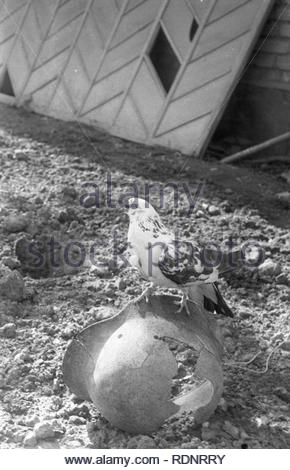 The dove is sitting on broken nazi helmet. It is the symbol of peace. Long time ago my friends have found in the ground fascist helmet. I am sure, that it belonged to German soldier. My neighbors breeded doves. And we have set the dove on the fascist helmet. - Stock Photo