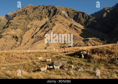 The beginning of the Rob Roy Glacier Track leads hikers through pastures full of grazing livestock in the Matukituki Valley near Wanaka. - Stock Photo