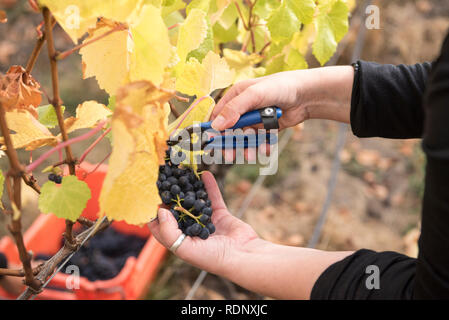 Harvesting ripe bunches of grapes in a vineyard in Wanaka, South Island, New Zealand. - Stock Photo