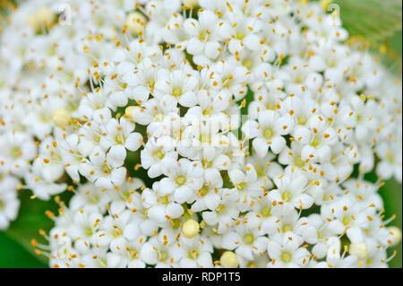 Blooming Viburnum lantana close-up - Stock Photo