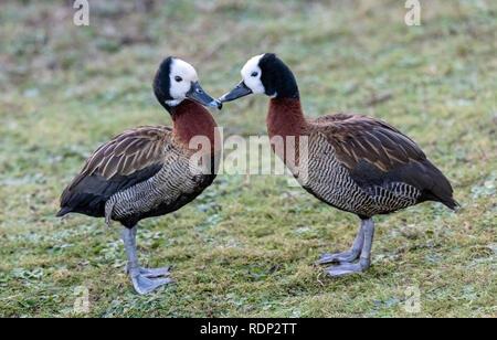 Oakham January 2018:  White headed whistling ducks. Clifford Norton Alamy. - Stock Photo
