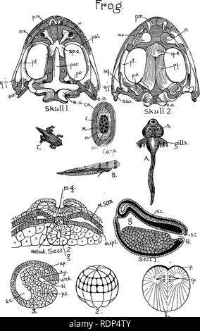. Outlines of zoology. Textbooks; Zoology. Diagram XXVIII.. Please note that these images are extracted from scanned page images that may have been digitally enhanced for readability - coloration and appearance of these illustrations may not perfectly resemble the original work.. Thomson, J. Arthur (John Arthur), 1861-1933. New York, D. Appleton & Co. - Stock Photo