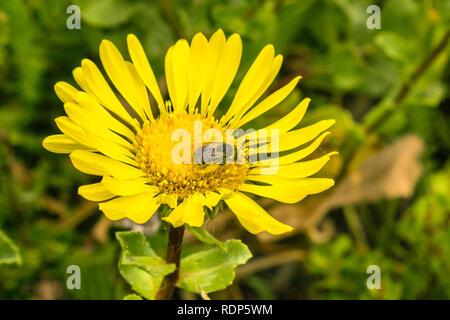 Bee pollinating a Great Valley Gumweed, Great Valley Gumplant (Grindelia camporum, Grindelia robusta) flower, California - Stock Photo