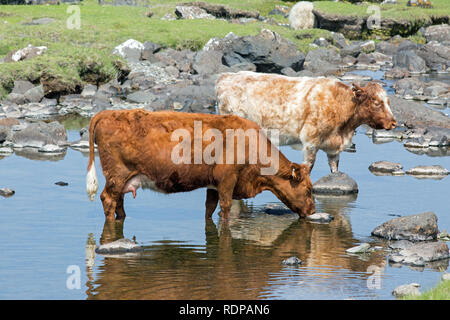 Shorthorn Cattle (Bos taurus), seeking cool water, in the heat of an exceptionally warm summer mid-day. June. The Island of Mull. The Inner Hebrides, West Coast of Scotland. UK - Stock Photo