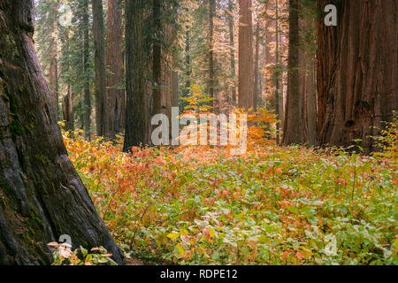 Brightly colored dogwood growing among giant sequoia trees on a sunny autumn day, Calaveras Big Trees State Park, California - Stock Photo