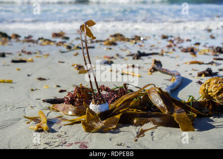 Algae taking root on a golf ball brought to shore, Carmel State Beach, Carmel-by-the-Sea, Monterey Peninsula, California - Stock Photo