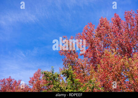 American sweetgum (Liquidambar styraciflua) autumn colored trees on a blue sky background; fall concept - Stock Photo