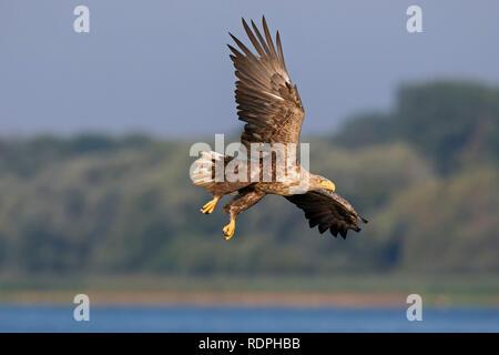 White-tailed eagle / sea eagle / erne (Haliaeetus albicilla) in flight over lake - Stock Photo