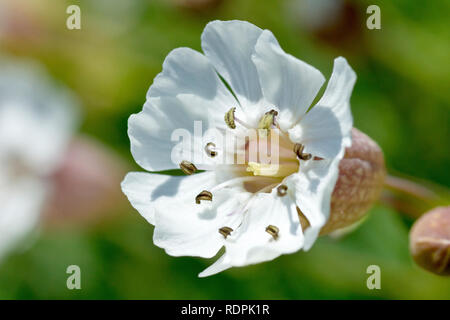 Sea Campion (silene vulgaris ssp. maritima), close up of a single flower out of many. - Stock Photo