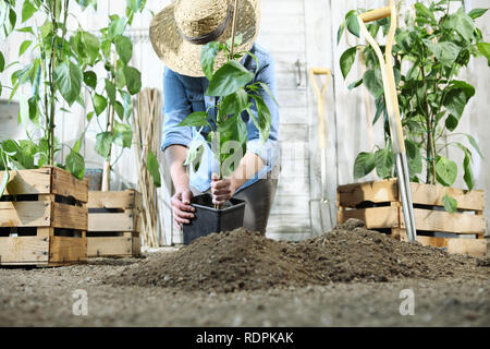 woman work in the vegetable garden with hands repot and planting a young plant on soil, take care for plant growth, healthy organic food produce conce - Stock Photo