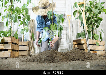 woman work in the vegetable garden with hands planting a young plant on soil, take care for plant growth, healthy organic food produce concept - Stock Photo