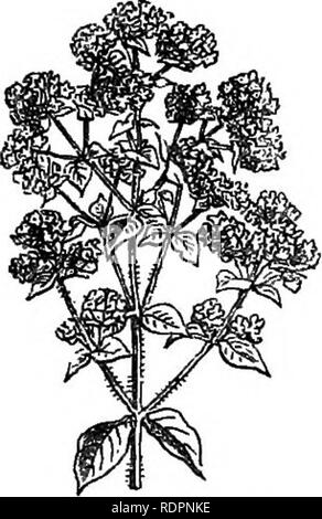 . My garden, its plan and culture together with a general description of its geology, botany, and natural history. Gardening. FlG. 198.—Summer Savory. Fig. 199.—Common Marjoram Fig. 197.—Sweet Basil. mer Savory {Satureia hortensis, fig. 198) is sown in April. Both kinds may be used green, and should be cut and dried for winter use when the flower is about to expand. Marjoram {Origanuin, fig. 199) is another herb much used in cookery. It is propagated by division. Knotted Marjoram {Origaymm Majorana, fig. 200) is in this country an annual, and requires the seed to be sown every spring. We grow  - Stock Photo