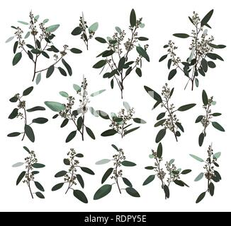 Eucalyptus silver, zerin, cineraria, greenery, gum tree foliage natural leaves and branches designer art tropical elements set bundle hand drawn in wa - Stock Photo