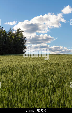 Field of young wheat in the rays of the sun. - Stock Photo