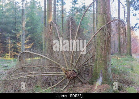 image of a branch of a fallen tree that is between the trunks of the trees in the forest on a sunny winter day in the Belgian Ardennes - Stock Photo