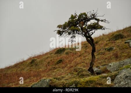 Close up of a small fir or pine tree. Twisted stem (trunk) and spiky leaves (needles) and branches on the young tree, growing out of the moss and rock - Stock Photo