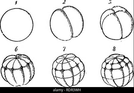 """. British reptiles and batrachians. Amphibians; Reptiles. THE COMMON FROG. 45 lated appearance, or what is called a """" mulberry mass."""" In the frog's egg we have an example of unequal segmentation, although symmetrical; presenting the idea of a beautiful sphere, and reminding us rather of our early lessons on the globe, than any- thing we should expect to find in the egg of an animal.. Fig. 16.—Eggs of frog, highly magnified. From Claus. Still more so when we hear of its """" poles, axes, equator,"""" etc. One portion of the contents, lighter than the rest, always turns uppermost,  - Stock Photo"""