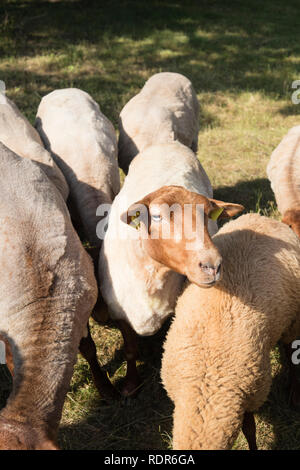 Detail of german sheep outdoors on a sunny day. - Stock Photo