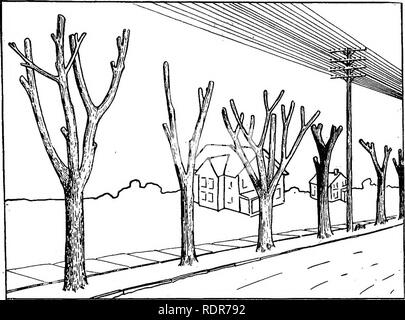 . A shade tree guide. Trees. STREET TREES. 19. Fig. .12, A Row of Old Trees Butchered to Make Room for High Wires. Compare With Fig. 13.. Please note that these images are extracted from scanned page images that may have been digitally enhanced for readability - coloration and appearance of these illustrations may not perfectly resemble the original work.. New Jersey. Dept. of Conservation and Development; Gaskill, Alfred. Union Hill, N. J. , Hudson Printing Co. - Stock Photo