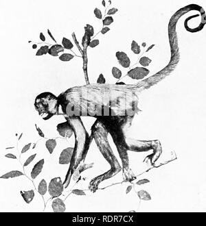 . Principles of economic zoo?logy. Zoology, Economic. 374 BRANCH CHORDATA The Saki monkeys (Pilhe'cia) of tropical South America east of the Andes have long, bushy, non-prehensile tails, and, sometimes, a long, black chin beard. The squirrel monkeys (Sai'miri) are little creatures with a long head, the occiput projecting. The proportions of the cranium, as compared with the face, are greater than in other monkeys or in man. They are gregarious and arboreal, feeding upon insects, small birds, and eggs. The howlers are the most hideous looking of the American monkeys and have the least intellige - Stock Photo