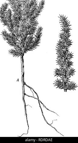 . Studies on the vegetation of the Transcaspian lowlands. Botany. 246 — ^,A I - * * • !;. Fig. 68. Corniilaca Korschinskiii. A, Plant, half size; B, Branch, natural size. June.. Please note that these images are extracted from scanned page images that may have been digitally enhanced for readability - coloration and appearance of these illustrations may not perfectly resemble the original work.. Paulsen, Ove, 1874-1947; Second Danish Pamir expedition. Copenhagen, Gyldendalske Boghandel - Stock Photo