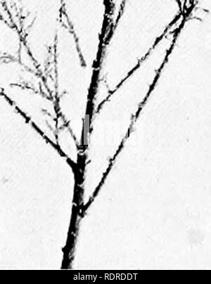 . Studies on the vegetation of the Transcaspian lowlands. Botany. Fig. 48. Tamarix hispida. Yeai-slioot with Qowering branches at the top, vegetative at the base. August.. Please note that these images are extracted from scanned page images that may have been digitally enhanced for readability - coloration and appearance of these illustrations may not perfectly resemble the original work.. Paulsen, Ove, 1874-1947; Second Danish Pamir expedition. Copenhagen, Gyldendalske Boghandel - Stock Photo