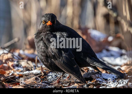 Berlin, Germany. 18th Jan, 2019. A male Common Blackbird (Turdus merula) searched for food on the ground at Tiergarten park, in Berlin, Germany, January 18, 2018. Credit: Omer Messinger/ZUMA Wire/Alamy Live News - Stock Photo