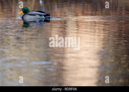 Berlin, Germany. 18th Jan, 2019. A male Mallard duck (Anas platyrhynchos) swims in a pond at Tiergarten park, in Berlin, Germany, January 18, 2018. Credit: Omer Messinger/ZUMA Wire/Alamy Live News - Stock Photo