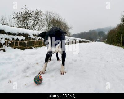 UK Weather: Boarder Collie dog playing ball in the snow on the High Peak Trail, Black Rocks, Bolehill, Derbyshire, Peak District National Park Credit: Doug Blane/Alamy Live News - Stock Photo