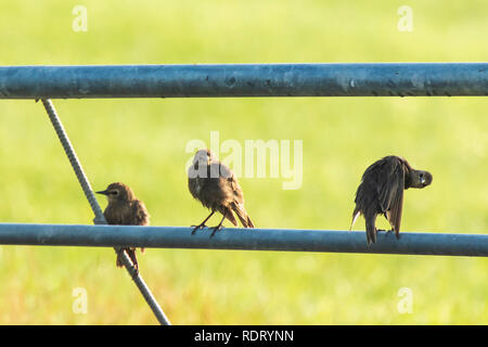 Common starling birds Sturnus vulgaris with beautiful plumage perched on a fence in farmland at eraly morning sunrise. - Stock Photo